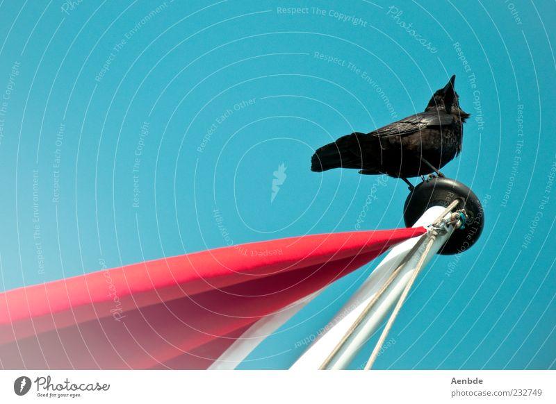 ready...steady... Himmel blau rot Tier schwarz Umwelt oben Vogel sitzen elegant einzigartig Fahne beobachten Schönes Wetter Fahnenmast Wolkenloser Himmel