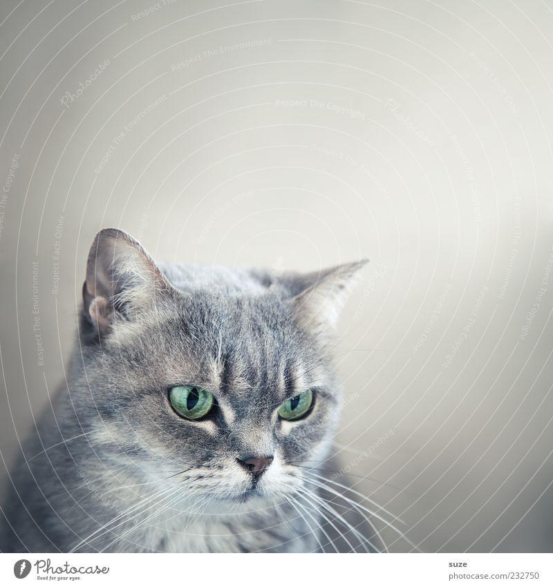 Katzenjammer schön Tier Auge grau natürlich niedlich beobachten Fell Tiergesicht Haustier tierisch Hauskatze Schnurrhaar Katzenauge Katzenkopf