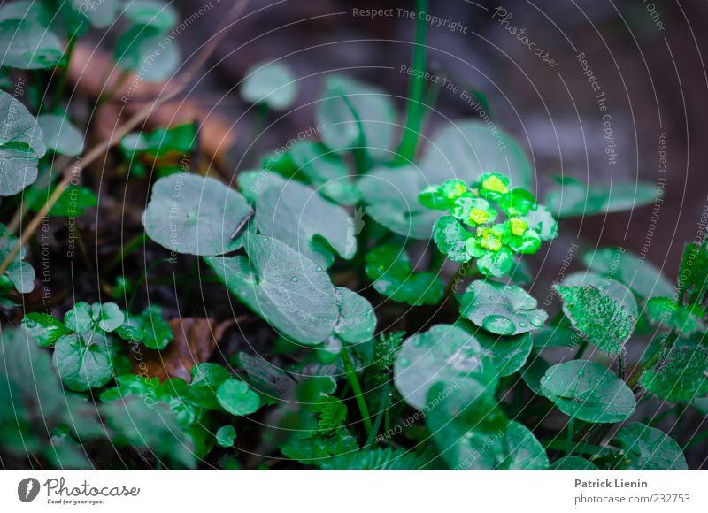 Leuchten im Wald Umwelt Natur Pflanze Frühling Regen Blatt Blüte Grünpflanze Wildpflanze dunkel frisch nass natürlich wild weich grün Milzkraut Farbfoto