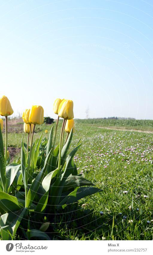 Frohe Ostern Natur Himmel Wolkenloser Himmel Frühling Schönes Wetter Pflanze Blume Tulpe Blatt Blüte Wiese Feld Blühend Duft Wachstum Frühlingstag