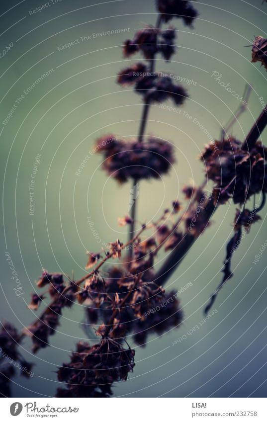 titellos Natur Pflanze Sträucher Wildpflanze trist trocken braun grün vertrocknet Farbfoto Außenaufnahme Dämmerung Schwache Tiefenschärfe welk Zweige u. Äste