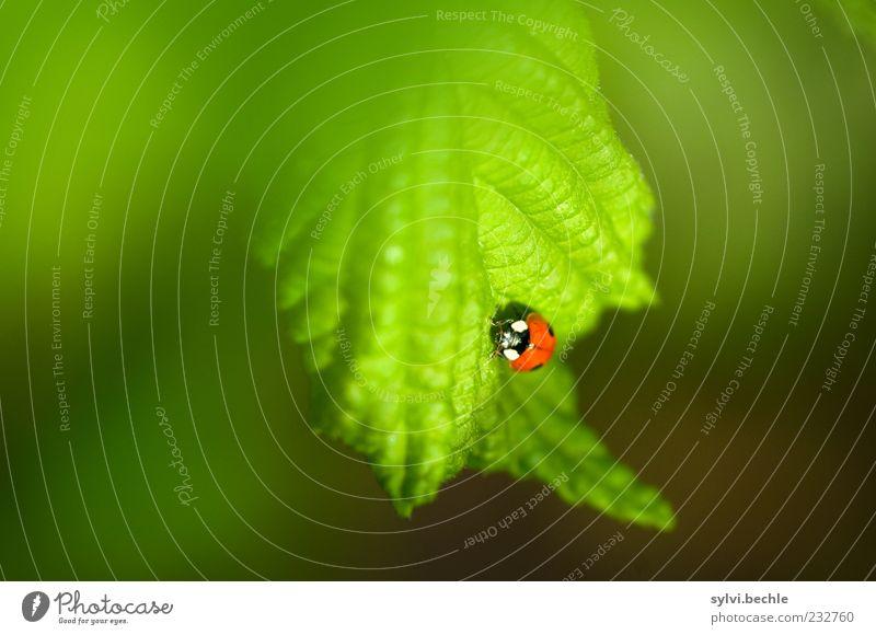 Willkommen im Frühling! - II Umwelt Natur Pflanze Tier Blatt Wildtier Käfer 1 Tierjunges krabbeln klein grün rot schwarz Glück Marienkäfer Glückskäfer Farbfoto