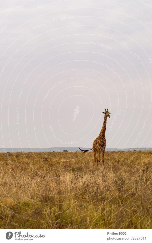 Giraffe isoliert in der Savanne Freude Ferien & Urlaub & Reisen Safari Sommer Sonne Menschengruppe Umwelt Natur Landschaft Tier Himmel Baum Gras Park stehen