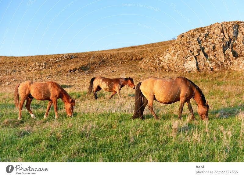 Herde wilder weidender Pferde auf dem Feld Sommer Umwelt Natur Landschaft Pflanze Tier Himmel Horizont Sonnenaufgang Sonnenuntergang Sonnenlicht Frühling Herbst