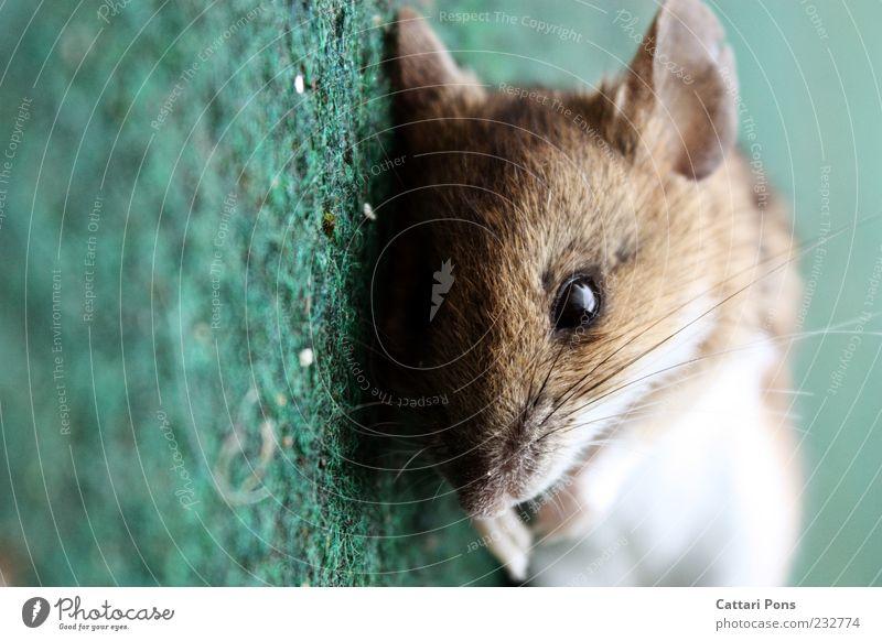 mAus Tier Totes Tier Maus Tiergesicht 1 liegen blau grün Tod Schnurrhaar Auge Ohr Nagetiere Farbfoto Außenaufnahme Tag Tierporträt bewegungslos Menschenleer