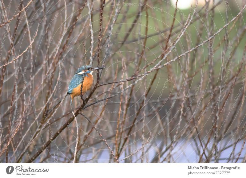 Eisvogel im Baum Umwelt Natur Tier Wasser Sonne Pflanze Ast Zweig Bach Fluss Wildtier Vogel Tiergesicht Flügel Krallen Eisvögel Schnabel Feder Auge 1 beobachten