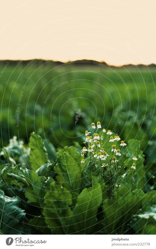 Kamille in Kohl Natur grün Pflanze Sommer Blume Blatt Landschaft Blüte Frühling Feld natürlich Wachstum Blühend Duft verblüht Grünpflanze