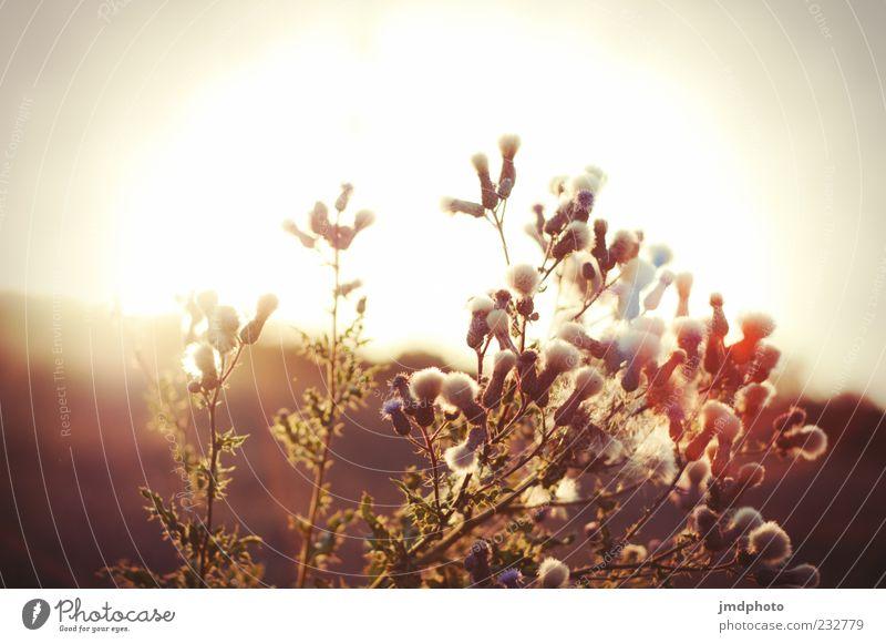 Distelblüten vor Sonnenuntergang Natur Pflanze Sonne Sommer Blatt Frühling Distel Distelblüte Distelblatt