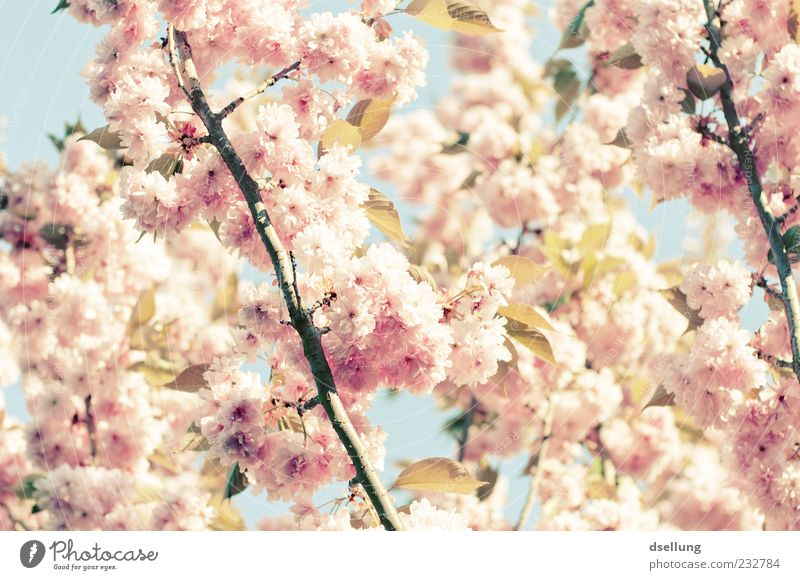Mädchenfoto Pflanze Frühling Schönes Wetter Baum Blüte Kirschbaum Kirschblüten rosa weiß zart Farbfoto Außenaufnahme Nahaufnahme Menschenleer Tag Licht Schatten