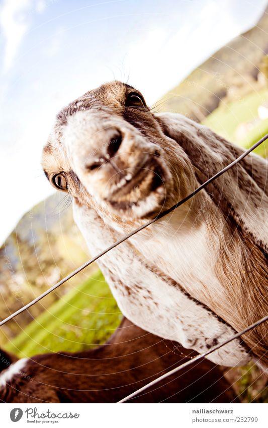 Ziegenblick grün Tier Auge Tierjunges braun Nase Ohr beobachten Neugier Tiergesicht lang Zaun Geruch Schnauze Maul Nutztier