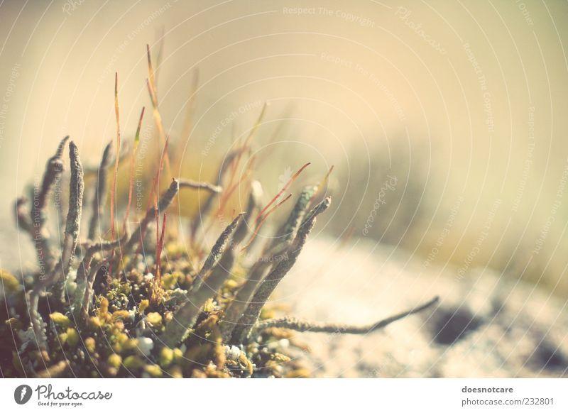 reach for the sunset. Natur Pflanze Wachstum Moos Flechten skurril seltsam Farbfoto Gedeckte Farben Nahaufnahme Makroaufnahme Menschenleer Textfreiraum rechts