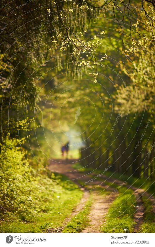 Frühlingsspaziergang Natur grün Baum Blatt ruhig Wald Landschaft Wege & Pfade Ausflug Spaziergang Schönes Wetter Fußweg Jahreszeiten Ferien & Urlaub & Reisen