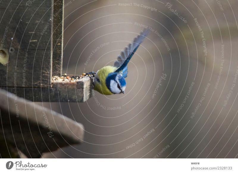 Eine Blaumeise an einem Futterhaus kurz vor dem Abflug Natur blau Tier Winter Wald Essen gelb klein Freiheit Vogel fliegen wild frei elegant Wildtier Energie