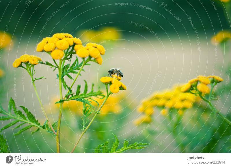 Bienchen und Blümchen Natur Pflanze Tier Frühling Sommer Blume Blüte Grünpflanze Wildpflanze Nutztier Biene 1 Blühend Duft frisch natürlich gelb grün