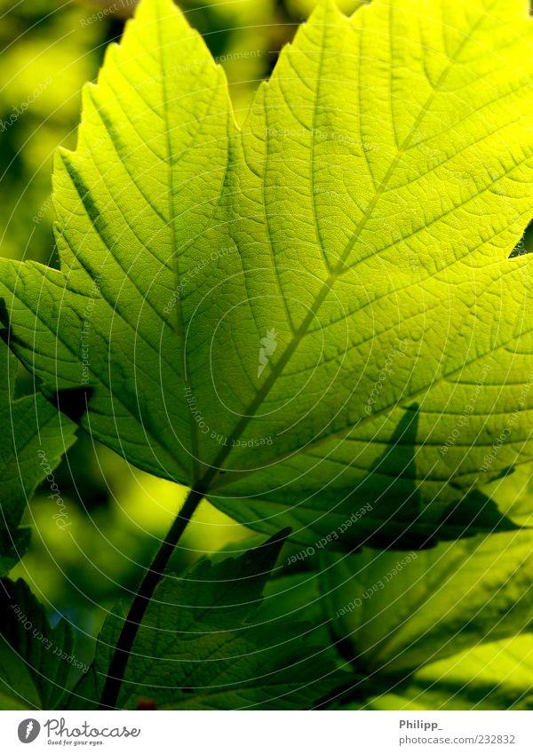 Ahornblatt im Gegenlicht Natur Pflanze Blatt Farbe frisch Stengel Textfreiraum Grünpflanze Blattadern Blattgrün hellgrün dunkelgrün durchleuchtet