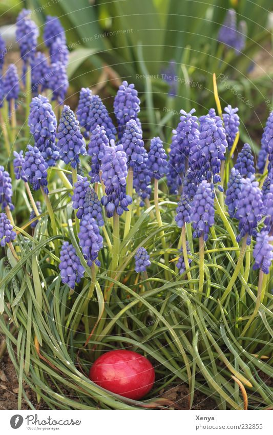 Das rote Ei Natur grün Pflanze Blume Farbe Lebensmittel Gras Garten Blüte Frühling Kindheit Ostern violett Tradition