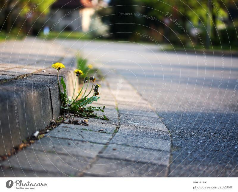 existieren Umwelt Natur Pflanze Baum Blume Gras Löwenzahn Einfamilienhaus Straße Straßenbelag Asphalt Bürgersteig Bordsteinkante Pflastersteine gelb Straßenrand