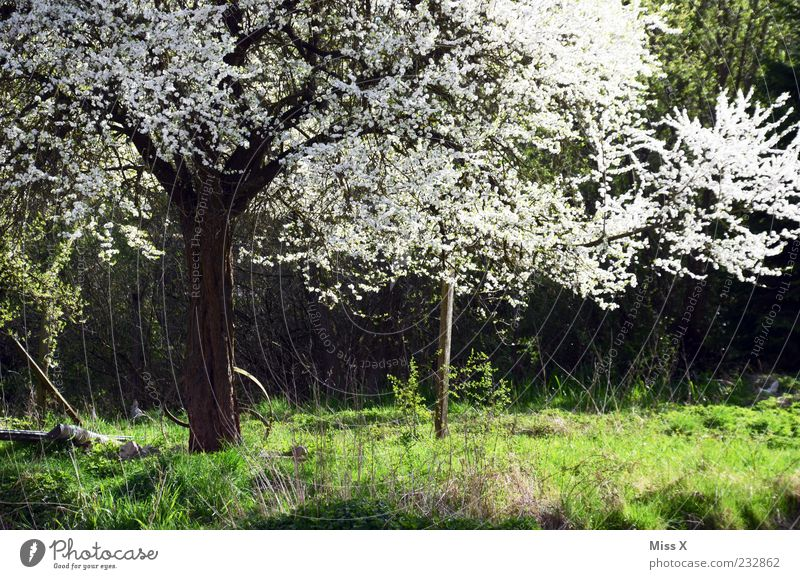 Blütenpracht Natur Pflanze Frühling Schönes Wetter Baum Gras Blatt Wiese Blühend Duft weiß Kirschbaum Apfelbaum Frühlingstag prächtig Farbfoto Außenaufnahme