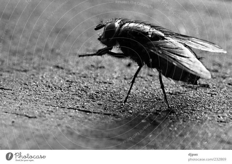 Nur Fliege ist schöner. weiß Tier schwarz Holz Beine glänzend Flügel Makroaufnahme Insekt Facettenauge