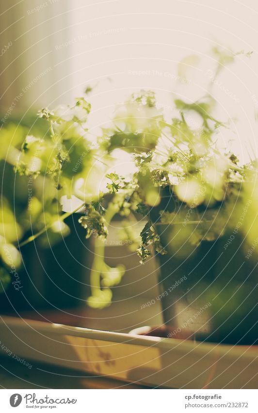 schöner Sonntag Pflanze Sommer Sonne Frühling Schönes Wetter Kräuter & Gewürze Blumentopf Nutzpflanze Fensterbrett Lichteinfall Topfpflanze Gegenlicht Petersilie Natur Klima