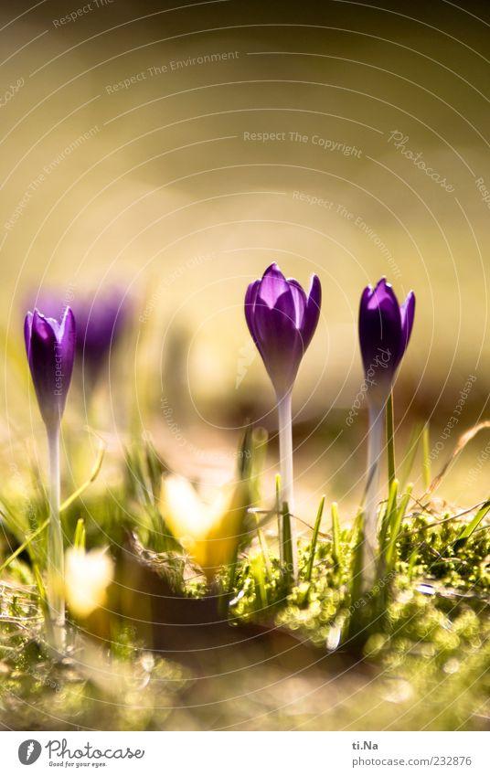eben war er noch da Frühling Schönes Wetter Pflanze Krokusse Wiese Blühend Wachstum hell schön gelb grün violett Frühlingsgefühle Farbfoto Nahaufnahme