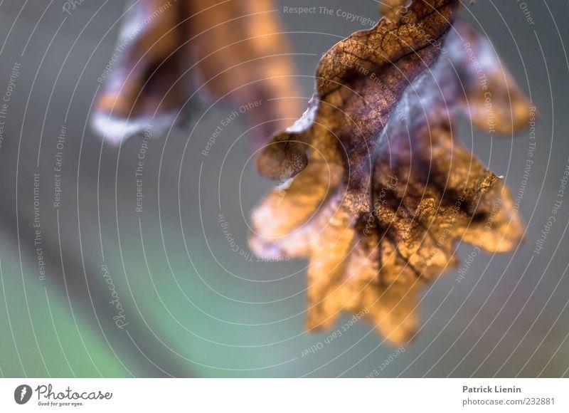 vom letzten Jahr Umwelt Natur Urelemente Luft Herbst Pflanze Blatt Wildpflanze dunkel einfach trocken rot vergangen hängen Blattadern braun Farbfoto
