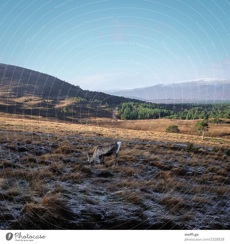 Rentier in Schottland in den Bergen Ferien & Urlaub & Reisen Ausflug Abenteuer Ferne Freiheit Expedition Winter Schnee Winterurlaub Berge u. Gebirge wandern