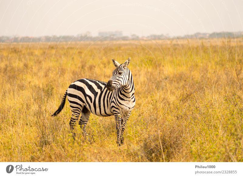 Isoliertes Zebra in der Savanne Haut Ferien & Urlaub & Reisen Abenteuer Safari Menschengruppe Umwelt Natur Landschaft Tier Himmel Gras Park Straße Pferd