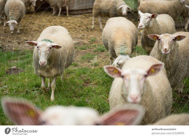 Schafe in der Herde auf der Wiese vor dem Stall Lebensmittel Fleisch Lammfleisch Schafstelze Schafskäse Ernährung Bioprodukte Gesunde Ernährung Landwirt