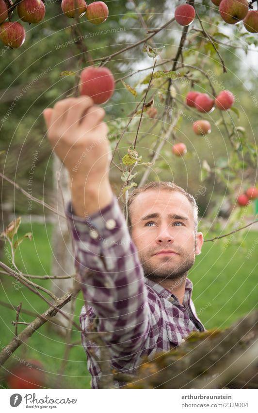 Junger Obstbauer pflückt Äpfel bei der Ernte Lebensmittel Frucht Apfel Ernährung Bioprodukte Gesunde Ernährung Beruf Landwirt Obstbaum Obstgarten Landwirtschaft