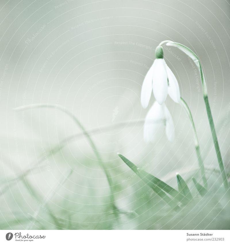 Auf Bald! Natur weiß Pflanze Blüte Frühling Wachstum paarweise Blume Schneeglöckchen Frühlingsblume