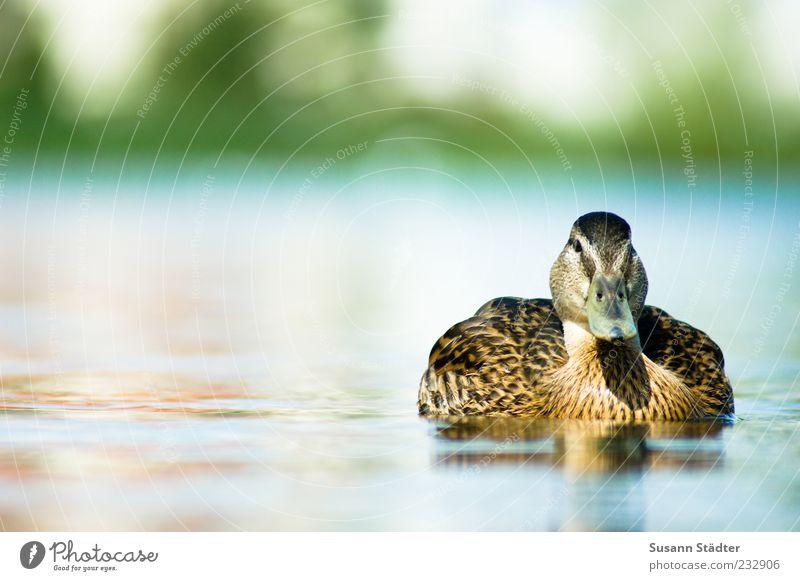 Schwimmbadsaison Tier Wildtier Schwimmen & Baden Ente See Sommer Außenaufnahme Nahaufnahme Tag Zentralperspektive Tierporträt Ganzkörperaufnahme 1 Menschenleer