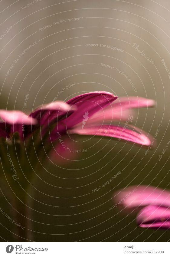 Frühlingsgefühle I Natur schön Pflanze Blume Frühling rosa zart sanft Blütenblatt