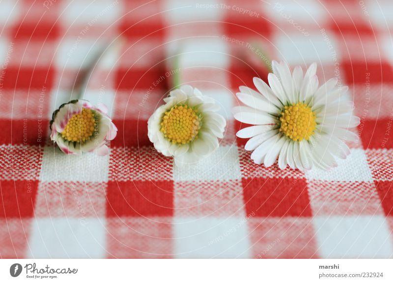 Gänseblümchen-Metamorphose Natur weiß rot Pflanze Sommer Blume Blüte Frühling liegen Wachstum Blühend Verschiedenheit kariert verwandeln Blütenblatt