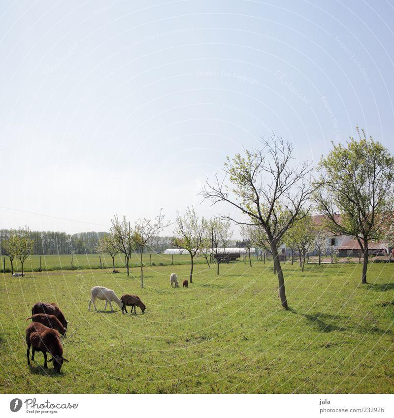 wo ist peter? Natur Himmel Wolkenloser Himmel Frühling Pflanze Baum Gras Wiese Bauwerk Gebäude Bauernhof Nutztier Ziegen Tiergruppe Tierfamilie Fressen blau
