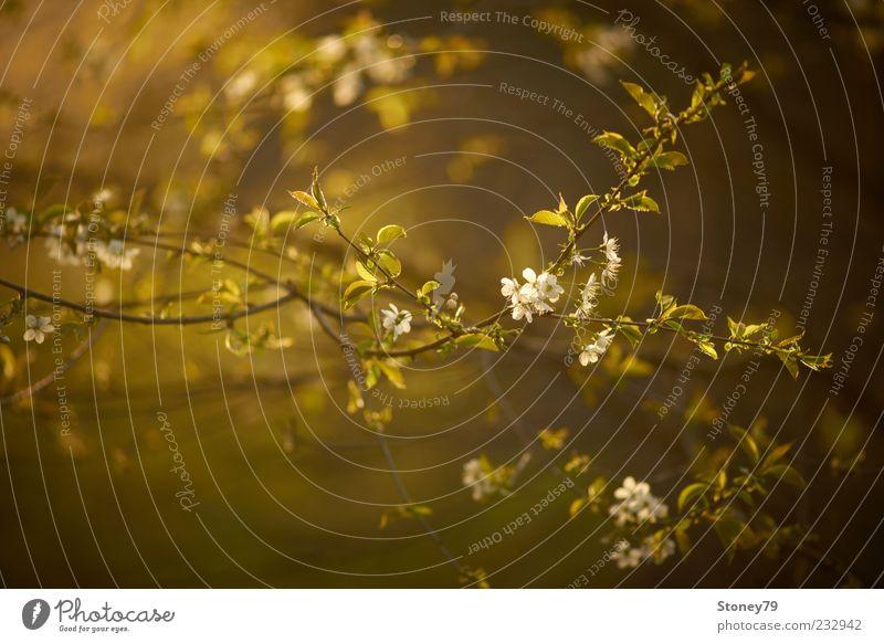 Kirschblüten Natur Pflanze Sonnenlicht Frühling Blüte Zweig Kirsche Wildkirsche Blühend frisch grün Frühlingsgefühle ruhig Abenddämmerung Jahreszeiten Farbfoto