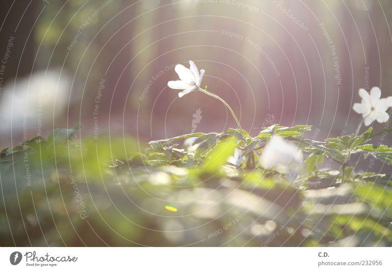buschwindröschen Natur weiß grün schön Pflanze Blume Blatt gelb Wiese Gras Wärme Blüte Frühling träumen braun Erde