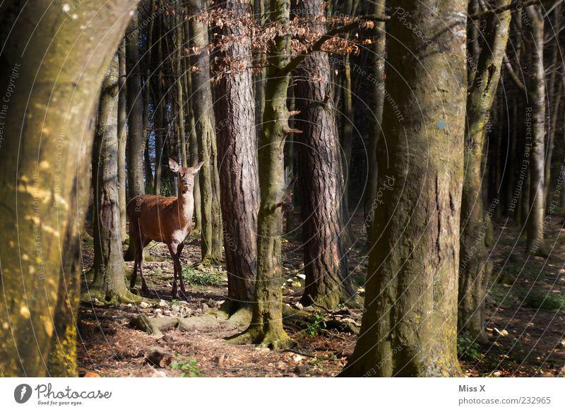 Ein Rehlein steht im Walde Natur Baum Tier Herbst Frühling Wildtier stehen Neugier Baumstamm Wachsamkeit Hirsche Schüchternheit Baumrinde achtsam