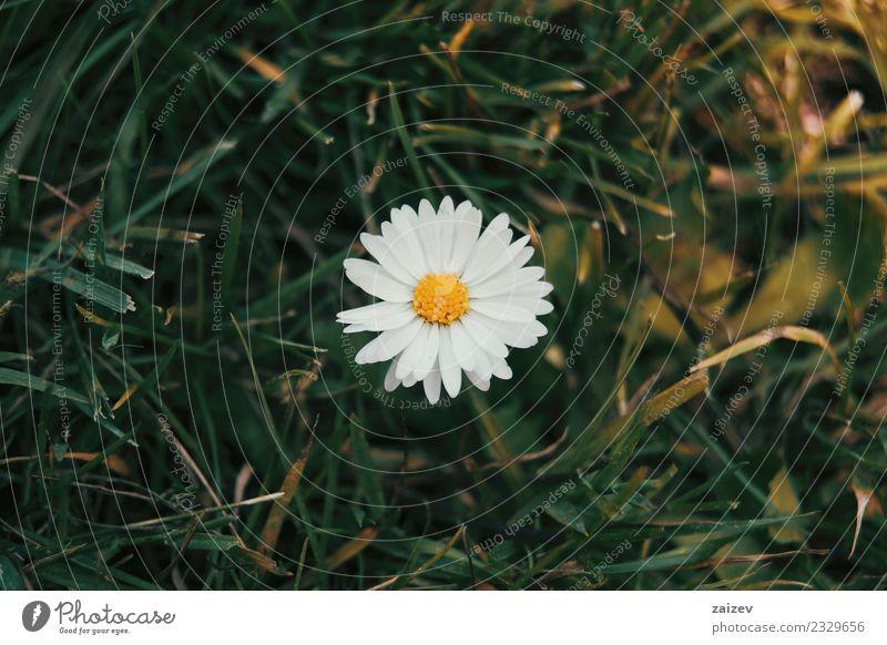 ein einzelnes Gänseblümchen von oben gesehen mit seiner weißen Blume. schön Sommer Garten Tapete Natur Pflanze Blatt Blüte Wildpflanze Park Wiese frisch