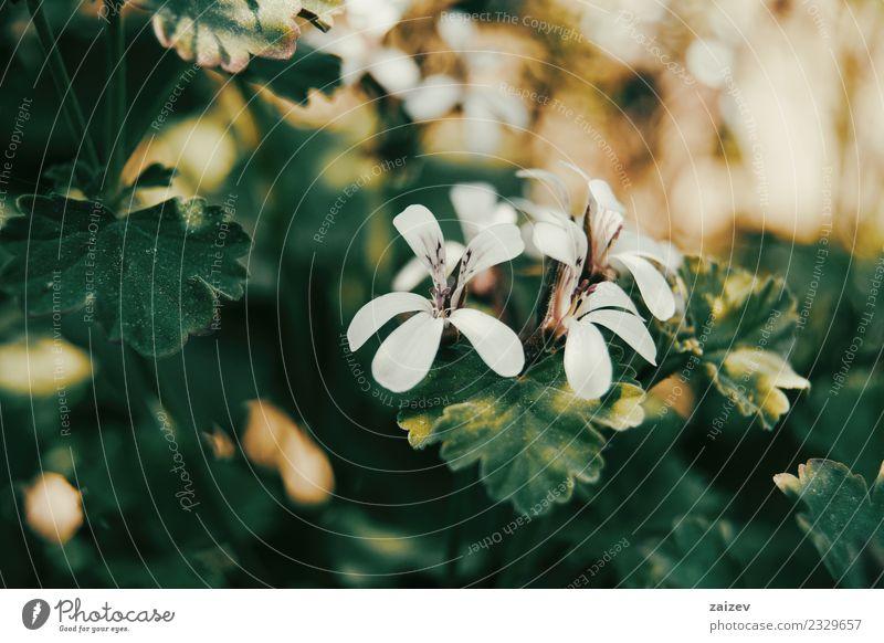 weiße Geranienblüten mit orangem Sonnenlicht schön Sommer Garten Dekoration & Verzierung Natur Pflanze Blume Blatt Blüte Wildpflanze Park natürlich grün Farbe