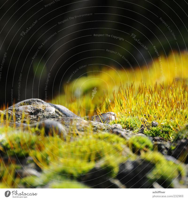 Igelversteck Natur Pflanze Erde Gras Moos Grünpflanze Felsen leuchten Wachstum braun gold grün Stein steinig bewachsen Grasfleck Moosteppich Außenaufnahme