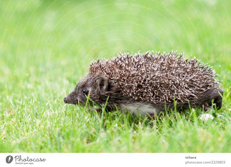 Kleiner grauer Igel Sommer Garten Natur Tier Herbst Gras Moos Blatt Wald klein natürlich niedlich stachelig wild braun grün Schutz Europäer Tierwelt Säugetier