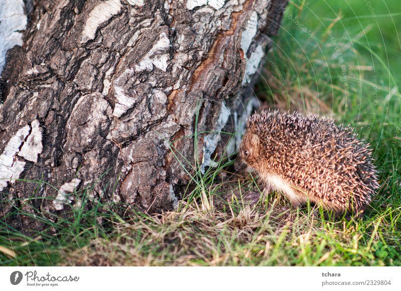 Kleiner Igel Sommer Garten Natur Tier Herbst Baum Gras Moos Blatt Wald klein natürlich niedlich stachelig wild braun grau grün Schutz Europäer Tierwelt