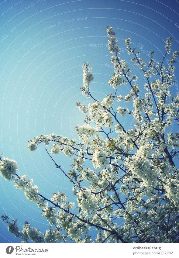 Weiße Pracht Himmel Natur blau weiß schön Baum Pflanze ruhig Umwelt Blüte Frühling hell Wachstum leuchten Schönes Wetter Blühend