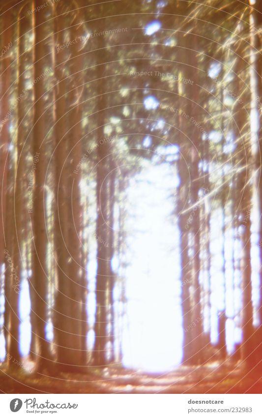 Lichter Nadelwald Natur Pflanze Wald Baum geheimnisvoll Unschärfe Fußweg Wege & Pfade karg Farbfoto Außenaufnahme Lomografie Menschenleer Tag