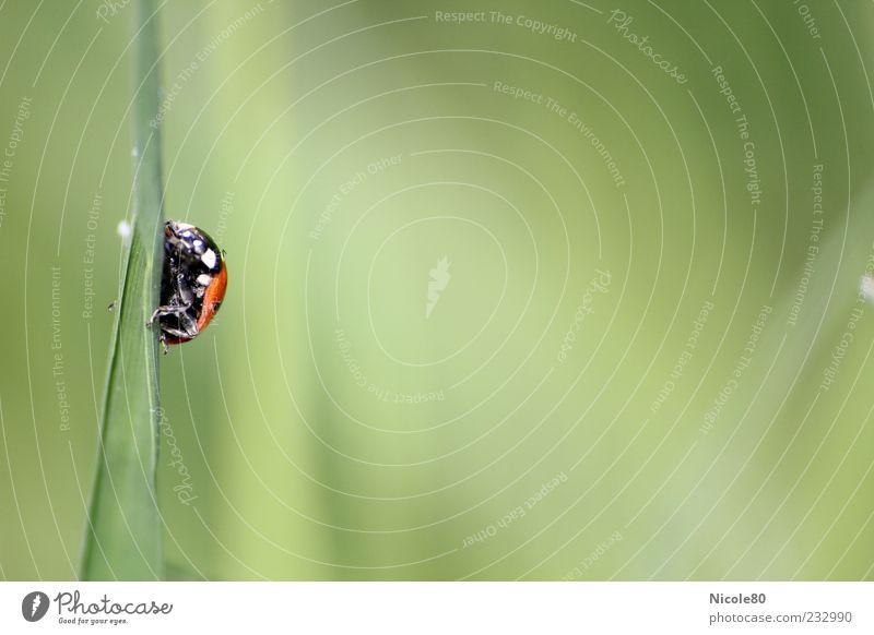 Klettertour Umwelt Natur Gras Wiese Tier Wildtier Käfer Marienkäfer 1 krabbeln klein grün rot Farbfoto Außenaufnahme Makroaufnahme Menschenleer