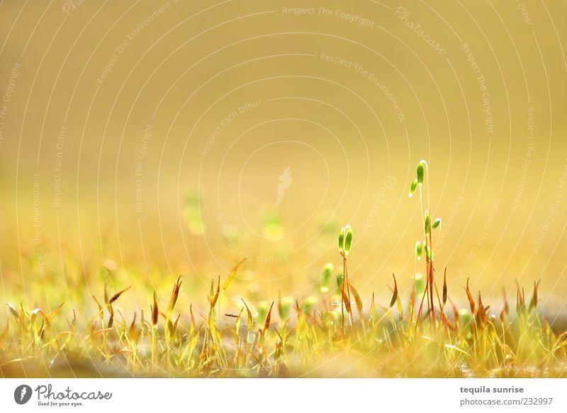 Goldener Frühling Natur grün Pflanze Sommer Blatt gelb Umwelt Wiese Gras Blüte Frühling hell gold Schönes Wetter Grünpflanze Licht