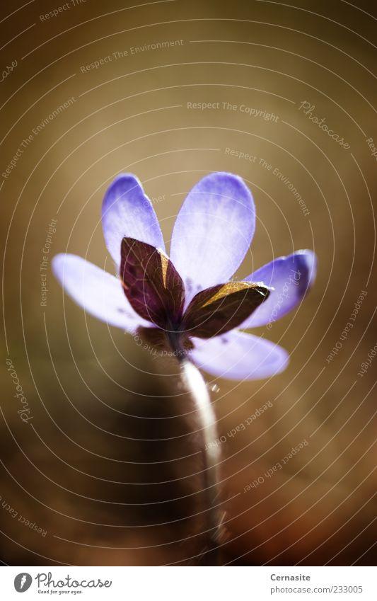 Natur alt weiß schön Pflanze dunkel Wiese Frühling Blüte Garten Park braun Erde Feld außergewöhnlich wild
