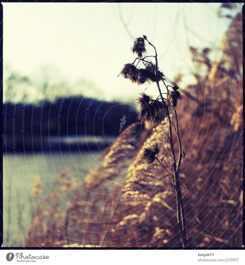 Golden Natur Landschaft Pflanze Sonne Sträucher Große Klette Schilfrohr Flussufer ruhig Mittelformat analog Farbfoto Außenaufnahme Menschenleer Tag Licht