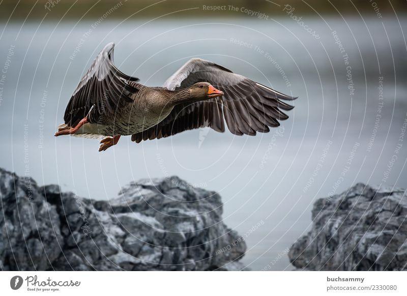 Wildgans beim Landen Natur Tier Wasser Vogel 1 Stein fliegen Flügel Feder Wasservogel Gans wildlife Farbfoto Außenaufnahme Menschenleer Textfreiraum oben Tag